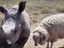 Beautiful news rhino and sheep