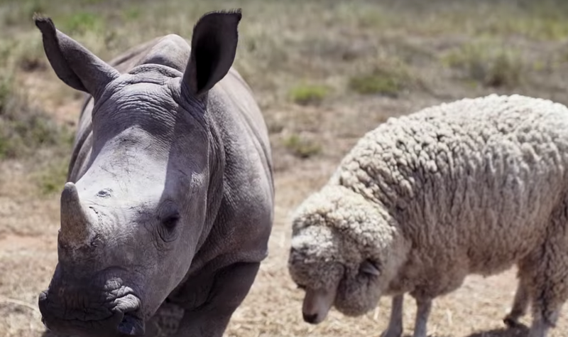 Beautiful news rhino and sheep