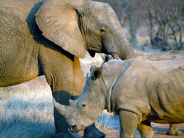 A suspected rhino poacher has been killed by an elephant then eaten by a pride of lions in Kruger National Park.