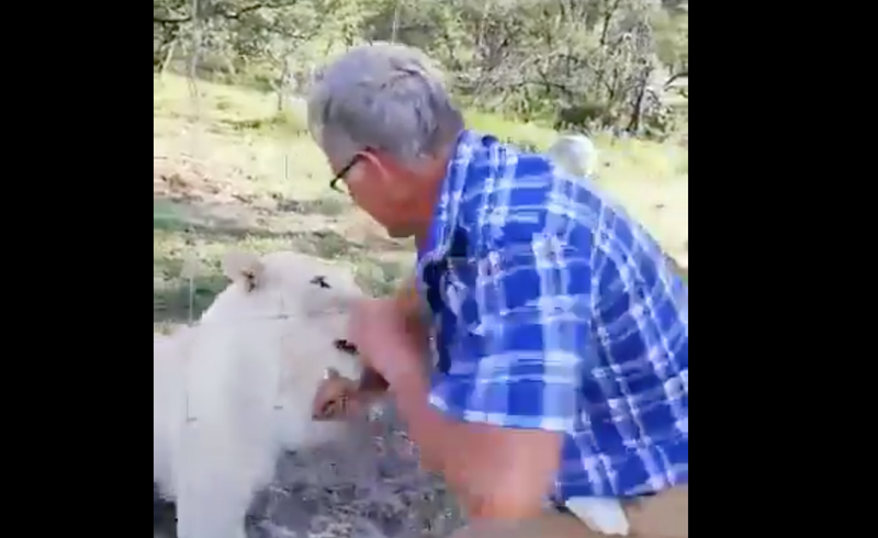 Man nearly loses an arm while petting a caged lion