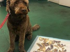 Dog Ozzi eats bank notes