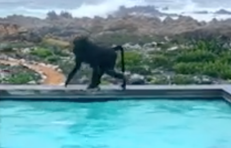 Baboons in the pool / Facebook