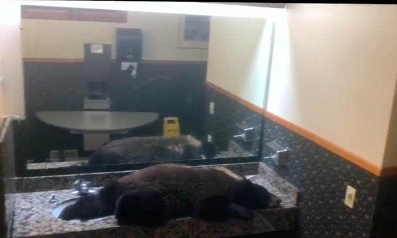 Black bear check into hotel