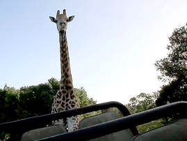 Giraffe Chases Group Of Tourists