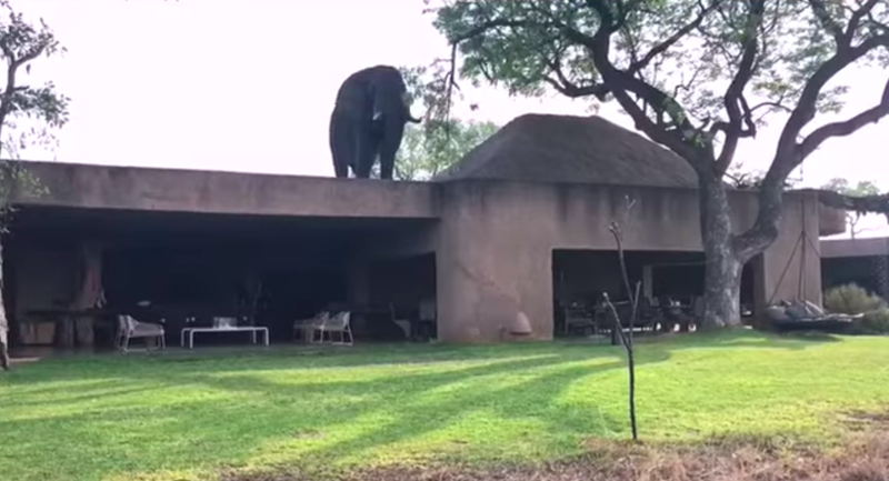 Elephant takes a stroll on rooftop