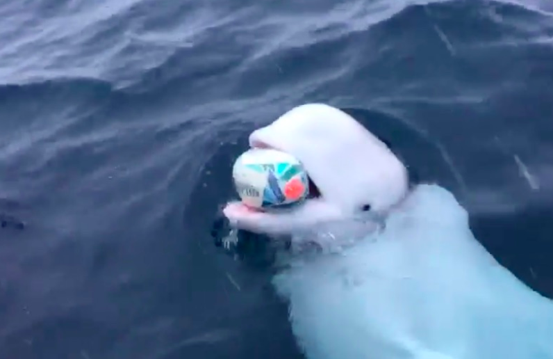 Beluga Whale playing fetch with SA rugby ball