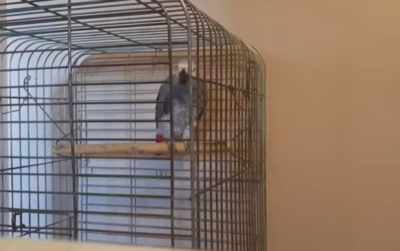 Grey Parrot Sings 'When People Zol'