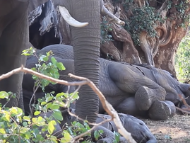 How to Wake Up a Baby Elephant
