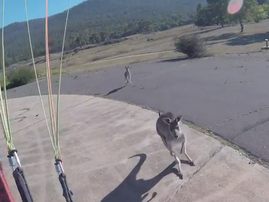 Paraglider makes safe landing in Australia – but is immediately attacked by a KANGAROO
