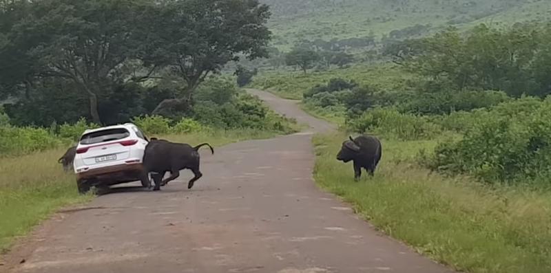 Annoyed buffalo rams itself into a car