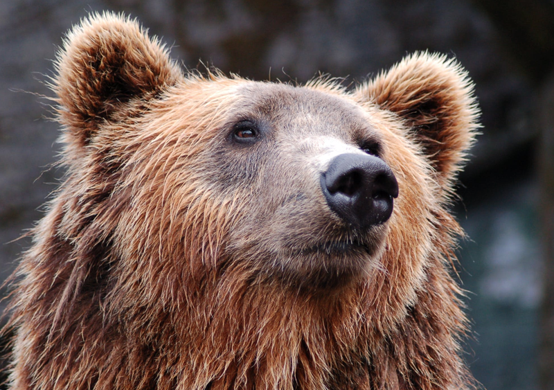 Brown Bear / Pexels