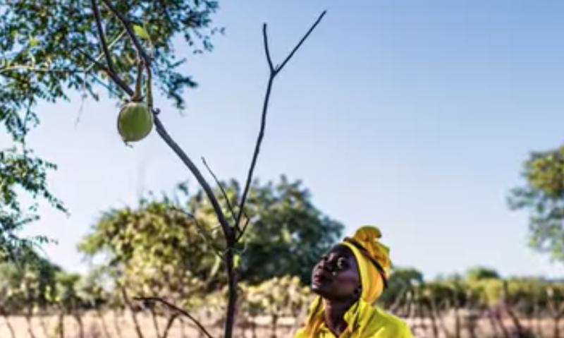 baobab tree beautiful news