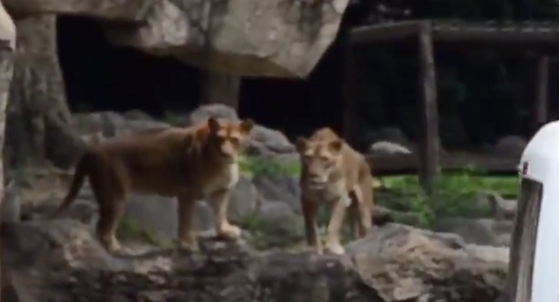 Japanese zoo stages unusual 'lion' escape drill