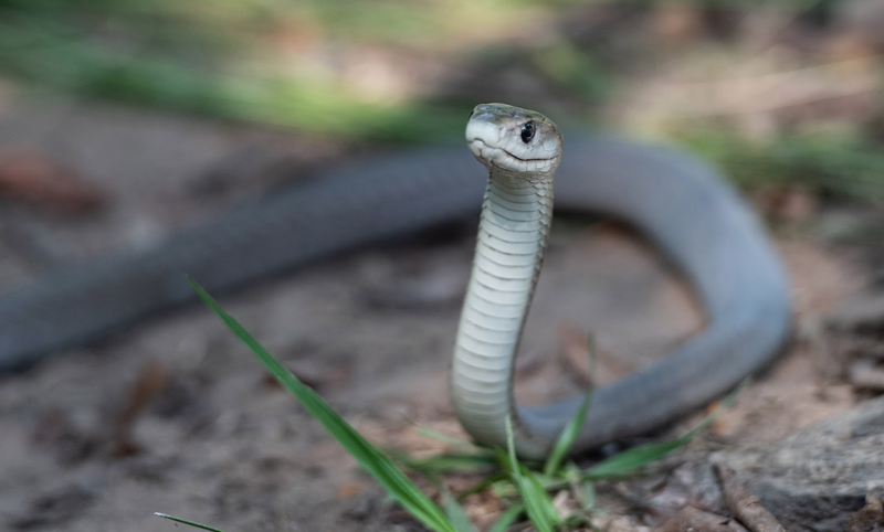 black mamba venomous snake beautiful news