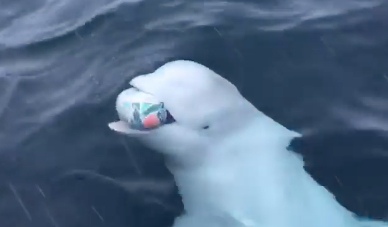 Beluga Whale plays fetch with SA Rugby ball at the South Pole  / Facebook