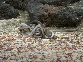 Iguana chased by killer snakes