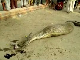 Python after swallowing large prey