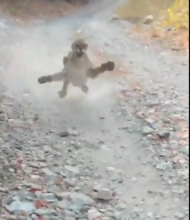 Cougar chases hiker