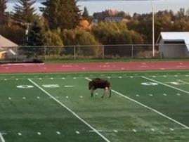 Moose playing football