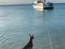Dog scares shark away