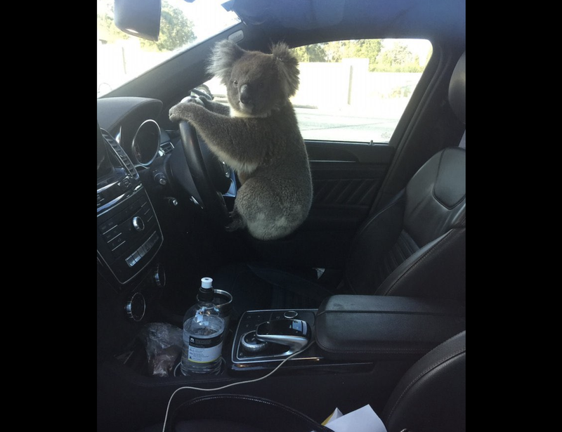 Driving Koalas