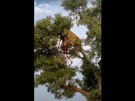 leopard and lion in a tree