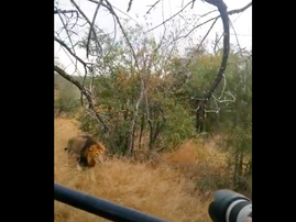 Lion seeing leapard