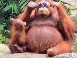 Orangutan shocks everyone with its intelligence