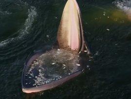 Whale feeding strategy