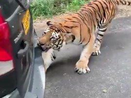 Tiger pulls car