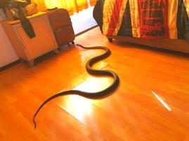 Snake Rescue Mamba in bedroom