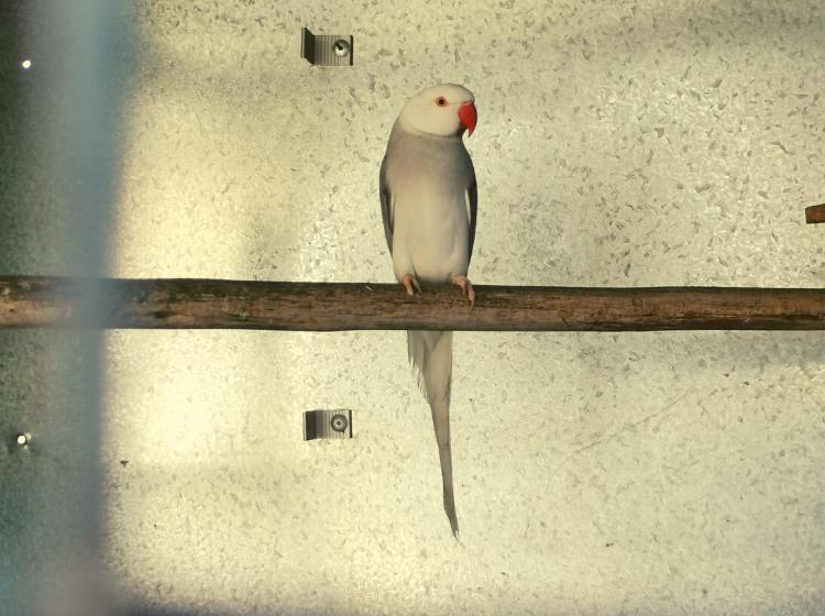 Hungry mamba sniffs out pet birds