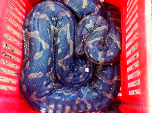 Injured African Python