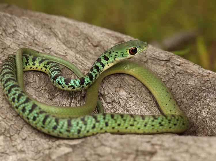 spotted bush snake  2