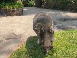 Warthog attack