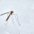 INTERESTING: Did you know that male mosquitoes use you as their wingmen to find a mate?