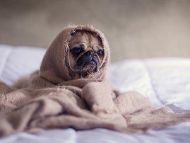 pitbull wrapped in blanket