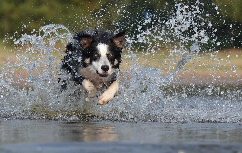 border collie swimming