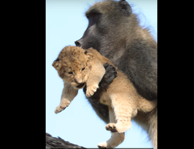 baboon and cub