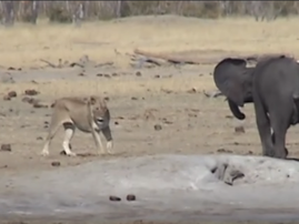 baby elephant v lions