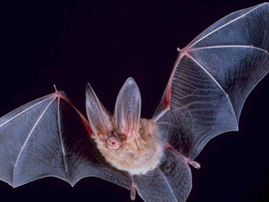 BAt flying