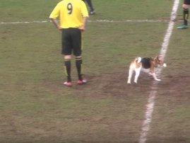 beagle footballs pitch football