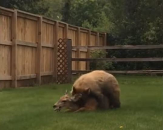 Bear kills deer