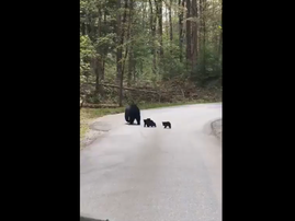 bears crossing the road