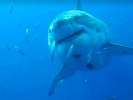 Could this be the biggest living shark ever recorded?