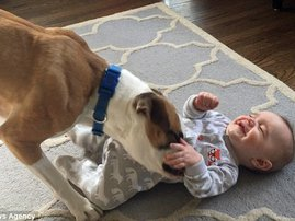 boxer dog tickles