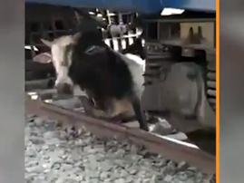 bull under train