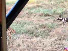 cheetah image wild dogs fight