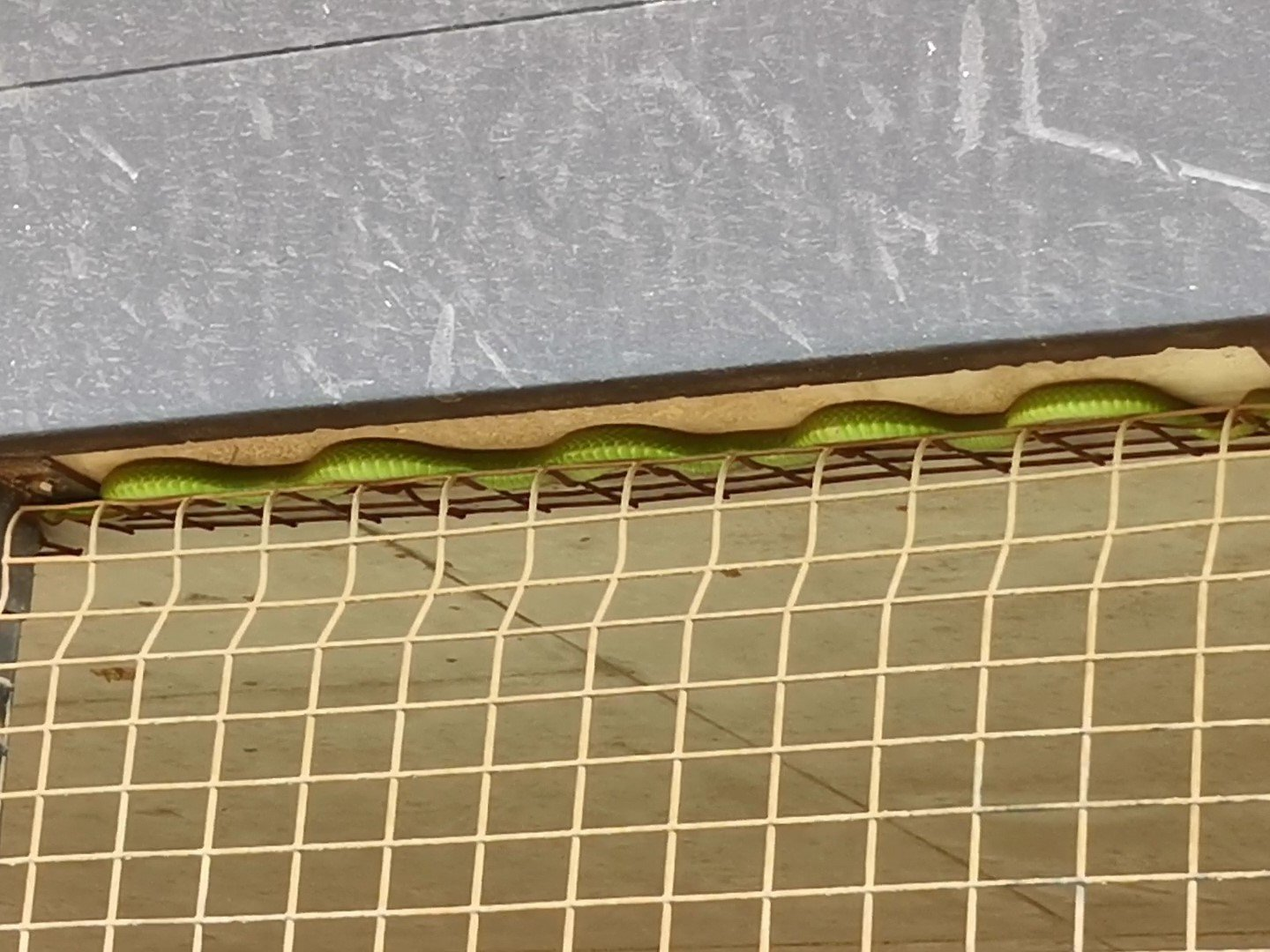 Coiled Green Mamba