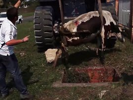 Cow rescued in Ladysmith